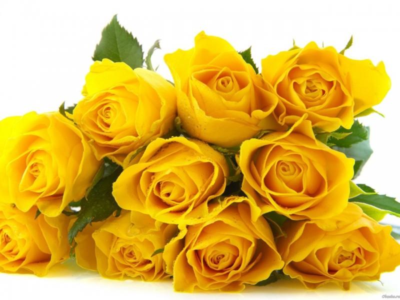 Ноября день, картинки желтых роз на прозрачном фоне